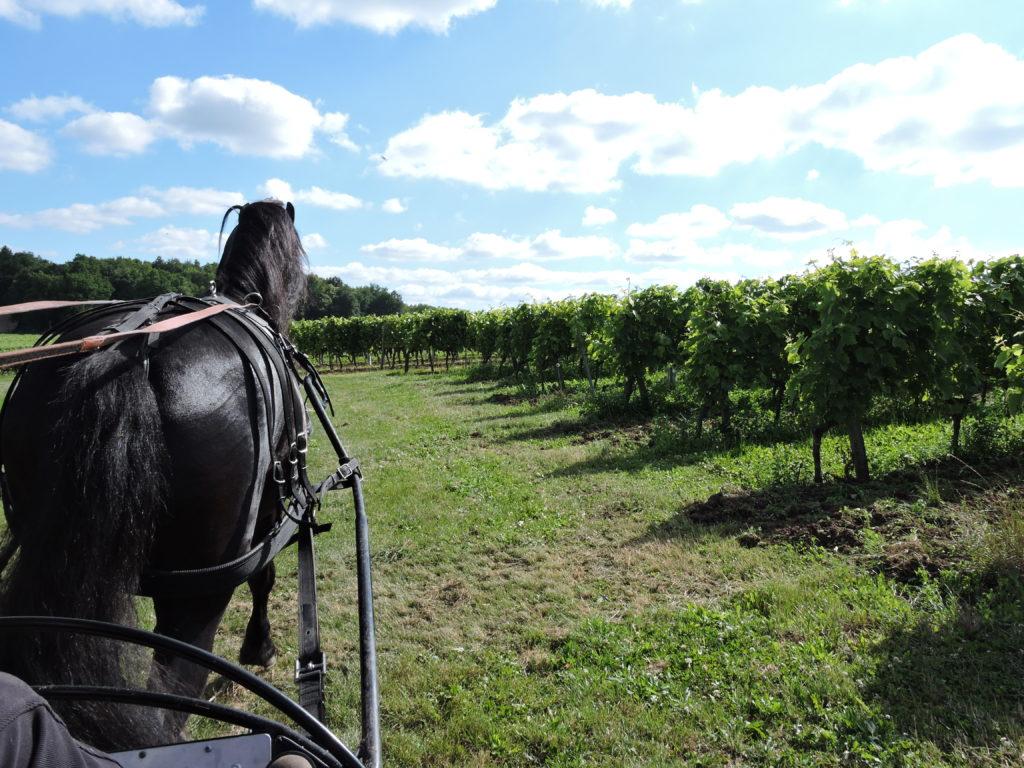 attelage arabofrison dans les vigne